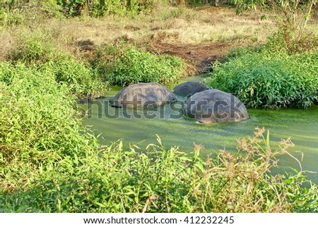 Giant tortoises in an algae covered pond on Puerto Ayora, in the Galapagos Islands - stock photo
