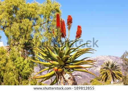 Giant Tree Aloe Aloe Barberae Palm Tree Bee Mission Santa Barbara California. - stock photo