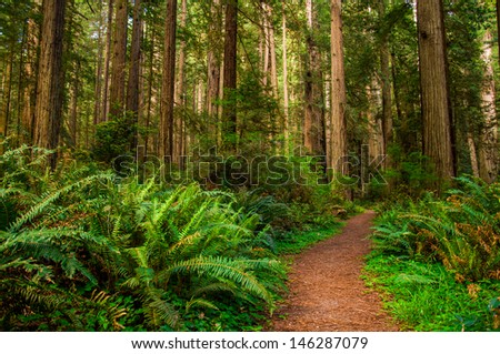 Giant trees and a hiking Path in Redwood Forest - stock photo