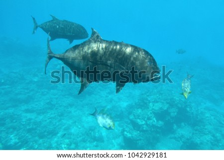 Giant Trevally Fish | Giant Trevally Fish Swim Underwater Rarotonga Stock Photo 1042929181
