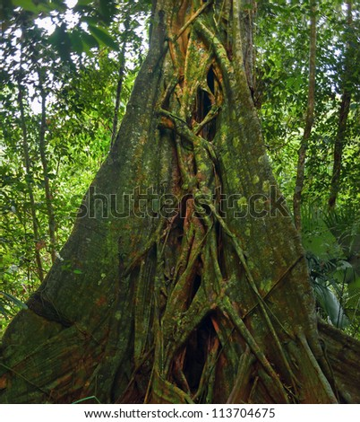Giant tropical tree. Banyan trunk in jungle forest - stock photo
