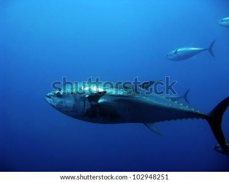 Giant tuna - stock photo