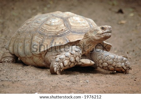 Giant turtle - stock photo