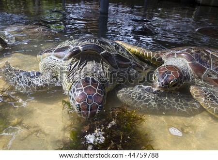 Giant turtle eating grass in water