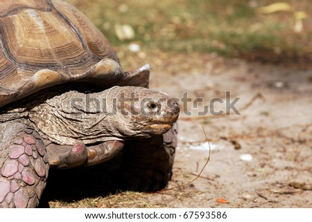 giant turtle head - stock photo