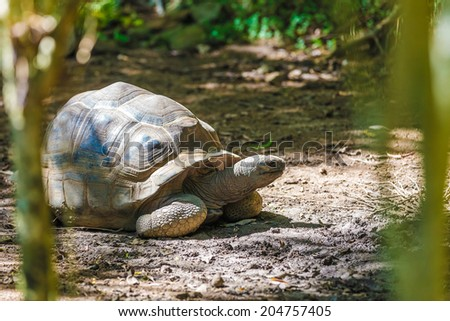 giant turtle in seychelles feeding on fome grass - stock photo