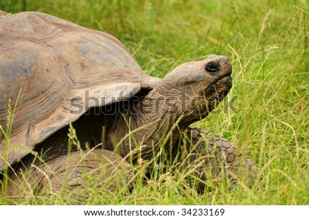 Giant turtle in the green grass - stock photo
