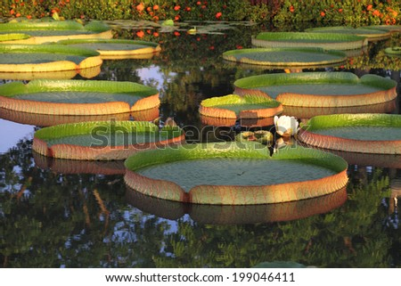 Giant Victoria lotus in water   - stock photo