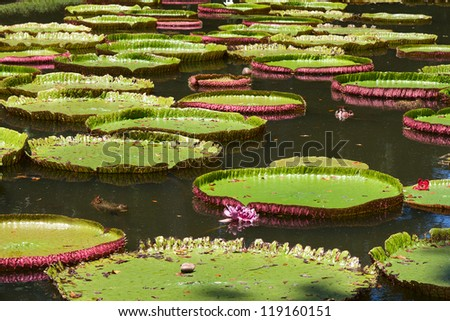 Giant water lilly. Victoria amazonica. - stock photo
