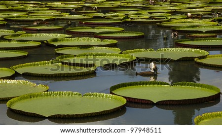 Giant water lily in the pond