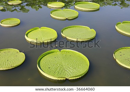 Giant water lily pads floating in pond - stock photo
