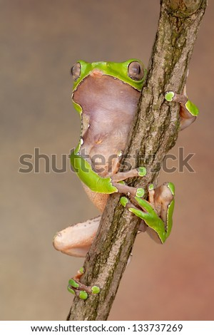 Giant Waxy Monkey Treefrog - stock photo