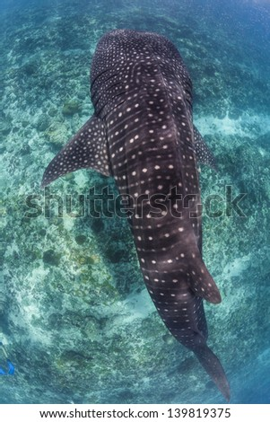 Giant whale shark view from snorkeling on surface in maldives - stock photo