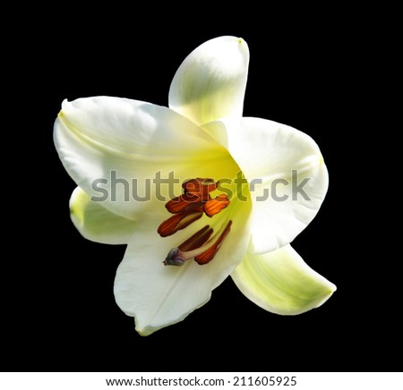 Giant white lily flower head isolated on black background