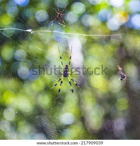 Giant wood spider - Nephila maculata / nephila pilipes, the Golden Orb Weaver or Banana Spider - stock photo