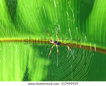 Giant wood spider - Nephila maculata / nephila pilipes, the Golden Orb Weaver or Banana Spider at Seychelles, La Digue. - stock photo