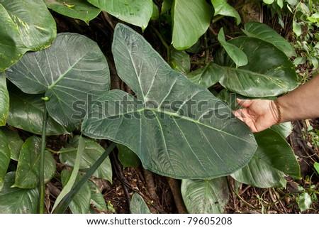 Giant Xanthosoma leaves in Hawaiian tropics - stock photo