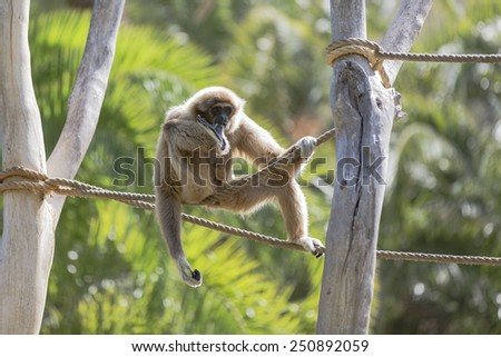 Gibbon - stock photo