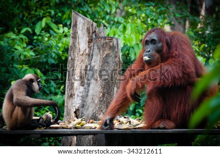 Gibbon and a Orangutang sitting and eating together in national park Tanjung Puting, Kalimantan, Borneo, Indonesia - stock photo