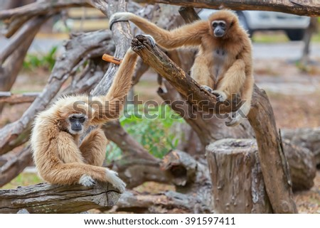 gibbon eating the trees in the forest. - stock photo