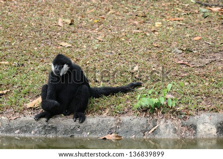 Gibbon in the zoo. - stock photo