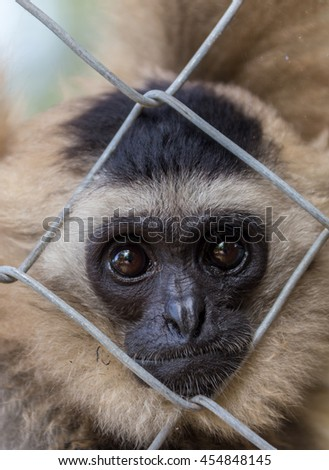 Gibbon in zoo cage,Beauty and loveliness of Gibbons - stock photo