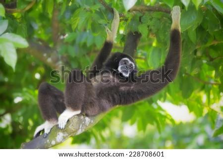 Gibbon monkey in Kota Kinabalu, Borneo, Malaysia - stock photo