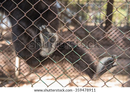 Gibbon monkey unhappy in the cage