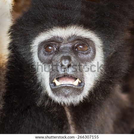 Gibbon monkey   weighs in zoo - stock photo