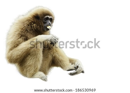 gibbon on white background - stock photo