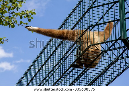 Gibbon sitting in cage. Gibbon wants out. - stock photo