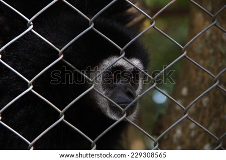 Gibbons in captivity