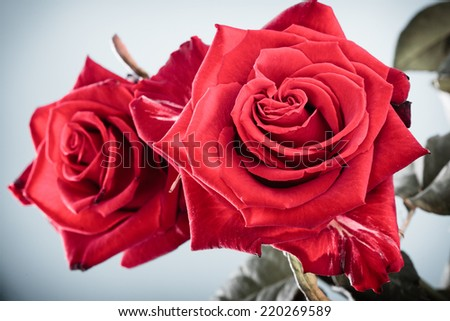 Gift for special occasion. Beautiful bouquet of blossoming red roses flowers as symbol of love on gray - stock photo