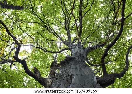 Gigantic Beech Tree, tree trunk - stock photo