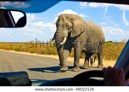 Gigantic male african elephant crossing the road in front of a safari car in Kruger National Park, South Africa - stock photo