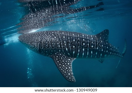 Gigantic whale shark (Rhincodon typus) feeding near surface - stock photo