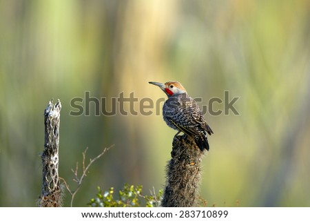 Gilded Flicker on a dead cactus in Saguaro National Park in Arizona - stock photo