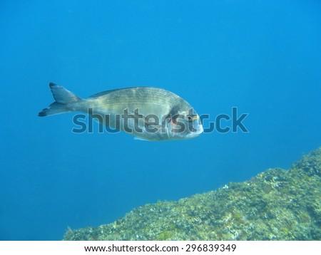 Gilt-head bream fish, Sparus aurata, underwater in the Mediterranean sea, Corsica - stock photo