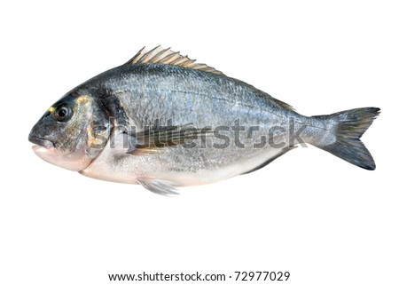 Gilt head bream or dorada fish isolated on white background