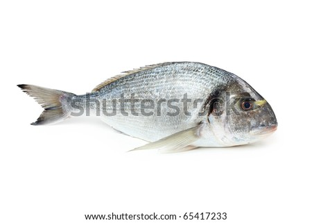 Gilt-head sea bream, isolated on white