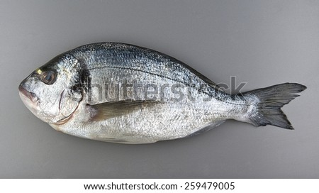 gilthead seabream on grey background, atlantic fish - stock photo