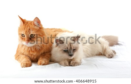 Ginger and Siamese cats isolated on white - stock photo