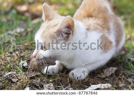 Ginger and white kitten with its prey of a mouse - stock photo