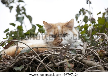 ginger and white pat cat resting on a small bush