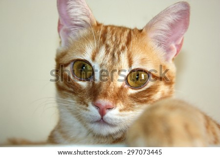 Ginger cat. Close-up.