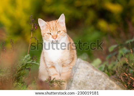 Ginger cat in autumn watching and nice sitting - stock photo