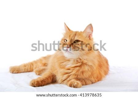 Ginger cat isolated on white - stock photo