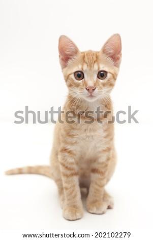 Ginger Cat isolated over white background. Animal portrait.  - stock photo