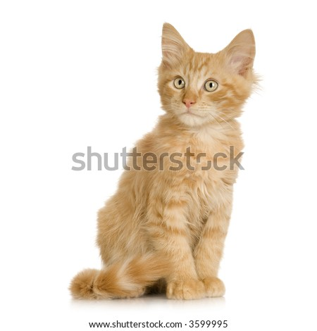 Ginger Cat kitten sitting in front of a white background - stock photo