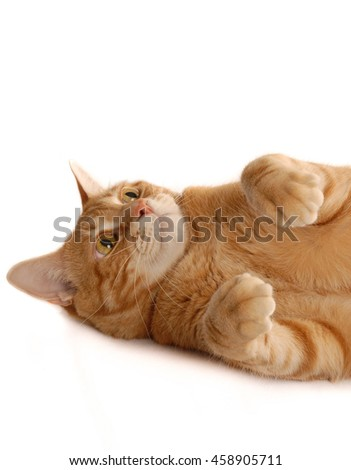 Ginger Cat looking up isolated on white background